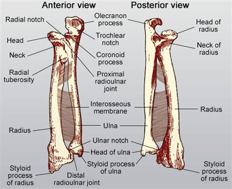 radius and ulna diagram coronoid process structures in the human