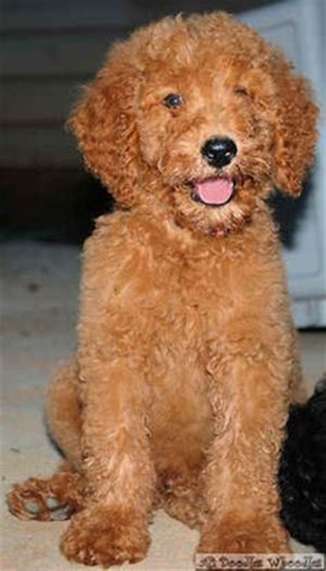 picture of poodle with silky hair texture the whoodle wheaten terrier and standard poodle cross