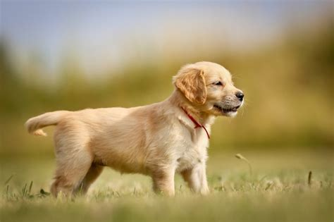 Pedigree Puppy 5 Signs Of Health 480 Gr golden retriever breed information buying advice