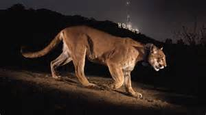 Zoo Lights Hours The Mountain Lions Of L A Big Cats In A Big City