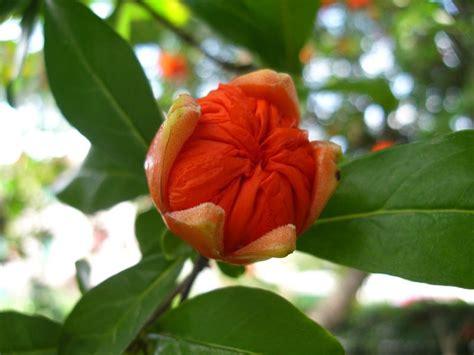 fiore di melograno cuore di melograno il tempio dei topi
