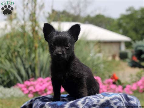 chihuahua puppies for sale in md chihuahua mix puppies for sale greenfield puppies