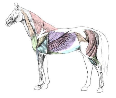 horses muscles diagram anatomy pictures think like a rick
