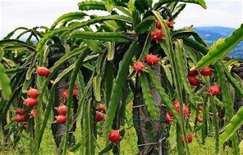 Bibit Buah Naga Banyuwangi dunia burung kicau manfaat buah naga