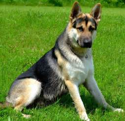 tri color dogs tri colored german shepherds for sale