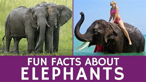 8 Facts On Elephants by Interesting Facts About Elephants Animal