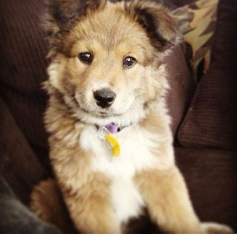 golden retriever huskie mix golden retriever husky mix might be the cutest puppy animals make my