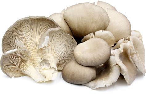 Green Gray Color by Oyster Mushrooms Information Recipes And Facts