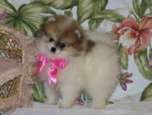 raising pomeranian puppies dogs glendale az free classified ads