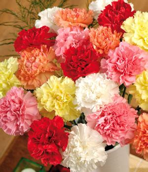 facts about carnations birth flowers carnation flower facts information and