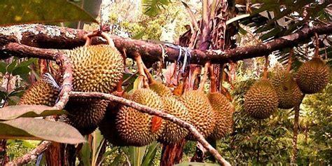 Bibit Durian Musang King Makassar jawab tentang bibit durian harga dan cara menanam