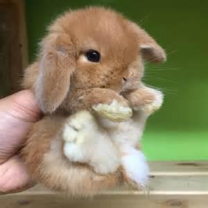 coniglio testa di ariete nano fulvo la stalla dei conigli allevamento e