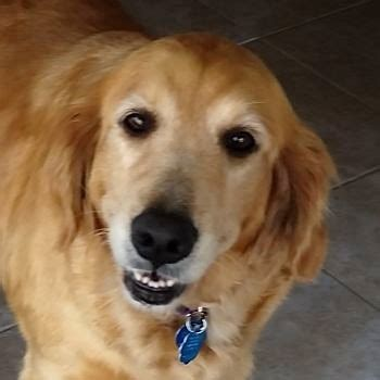 golden retriever rescue philadelphia adopt a golden yankee golden retriever rescue inc autos post