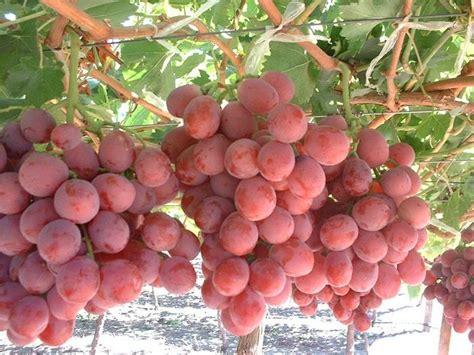 Bibit Anggur Di Medan harga bibit anggur unggul dan cara menanamnya bibit