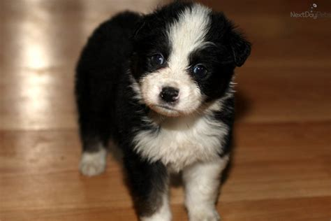 aussie puppies for sale near me australian shepherd puppies for sale near me breeds picture