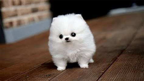 fluffy puppies the tiniest and fluffiest of all tiny fluffy dogs