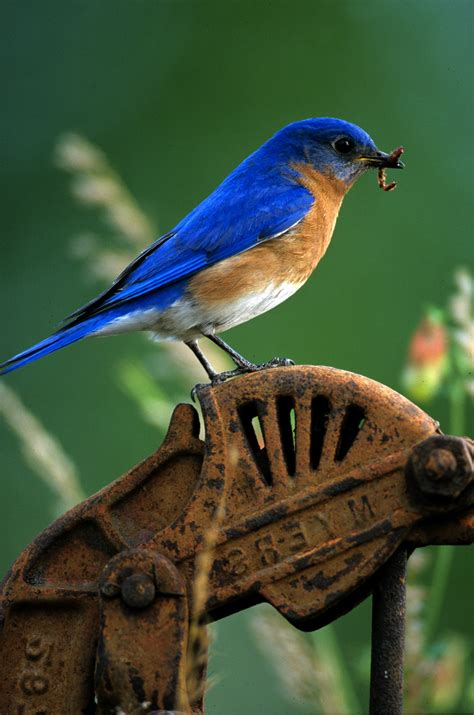 eastern bluebird male feathered friends pinterest