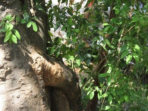 payen milady sandal wood tree 28 images days 8 9 10 and 11