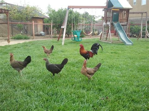 quiet chickens for backyards which breed of rooster will protect my hens best