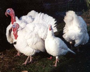 large white breed to turkey the livestock conservancy