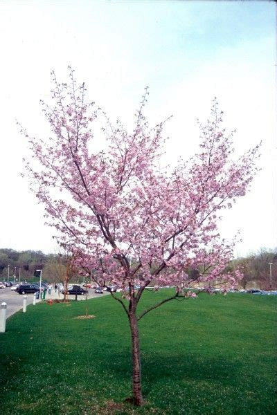 cherry tree zone 4 92 best images about garden minnesota on gardens drought tolerant and wisteria