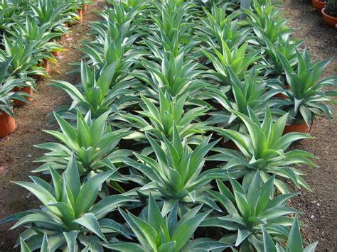 foto piante grasse fiorite piante grasse e succulente succulent plants planeta