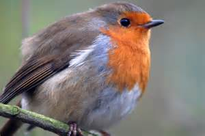 robin redbreast all creatures wildlife the rspb
