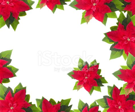 red poinsettia border isolated on white stock photos
