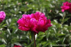 peony flowers peony flower picture flower pictures 1010