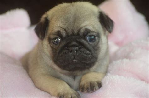 show quality pug puppies for sale show quality pug puppies for sale southport merseyside pets4homes