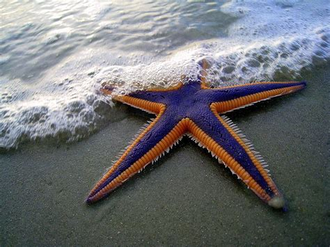 starfish colors astropecten articulatus