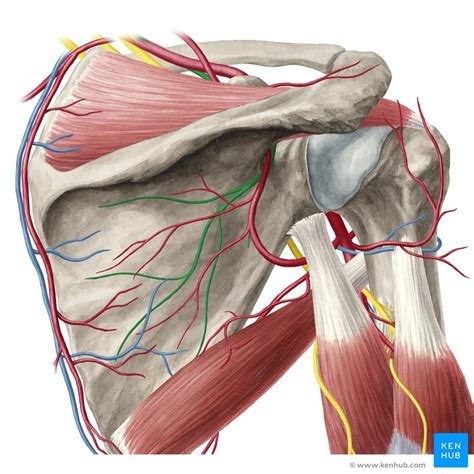 anatomical spaces   pectoral region anatomy kenhub