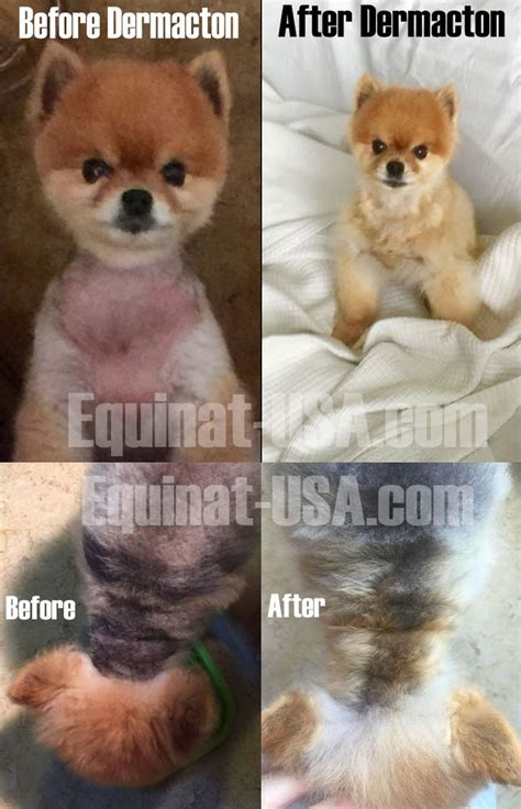 alopecia x treatment pomeranians 126 best treatment canine dermatitis images on treatments
