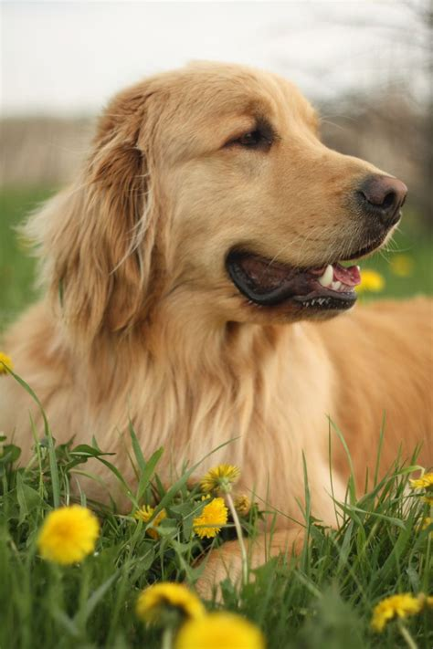 golden retriever heaven 1000 images about my of golden retrievers on