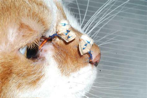 cara kucing sakit mata 174 5 penyebab kucing sakit mata cara mengobati secara alami