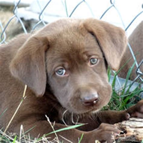 lab puppies for sale in va black chocolate lab puppies for sale