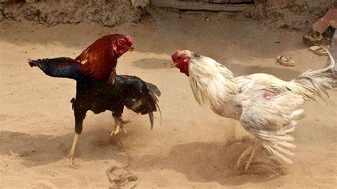 peleas de gallos en matehuala 2016 arrestan a 24 en peleas de gallos noticiasya lo que importa