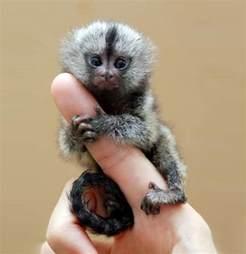 the finger monkey a pygmy marmoset strange strange news
