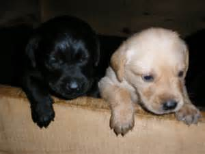 golden retriever rottweiler mix puppies for sale golden retriever black lab mix puppies for sale german shepherd rottweiler mix outline