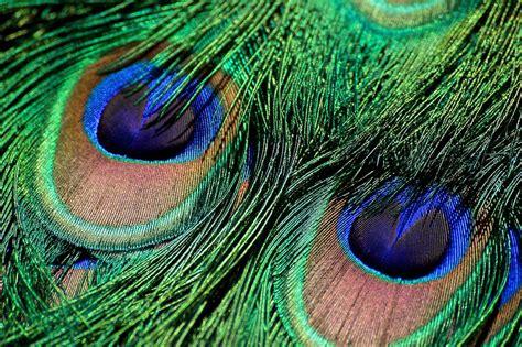 contoh tato bulu merak gambar mewarnai gambar burung merak bliblinews lucu anak