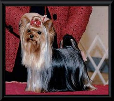 yorkie puppies for sale in kansas 6984 best images about yorkie on