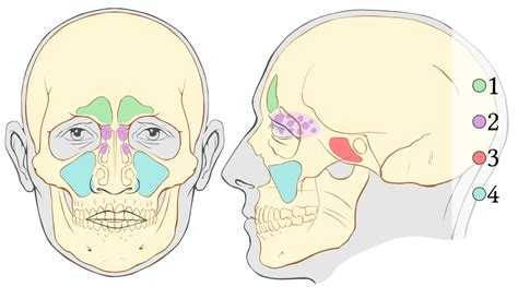 diagram of sinus cavity file paranasal sinuses numbers svg wikimedia commons