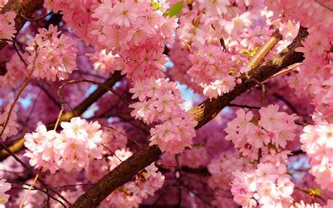cherry tree background cherry blossom wallpaper hd pixelstalk net