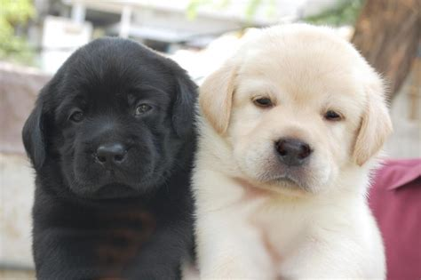 lab puppy cost how much is a labrador retriever cost dogs our friends photo