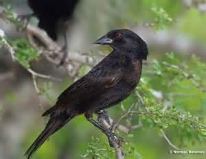 Backyard Conservation Bronzed Cowbird