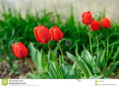 red tulips in soil royalty free stock images image 24644099