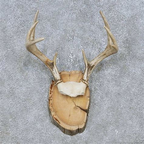 Deer Antler Ls For Sale by Whitetail Deer Antler Plaque Mount For Sale 14734 The