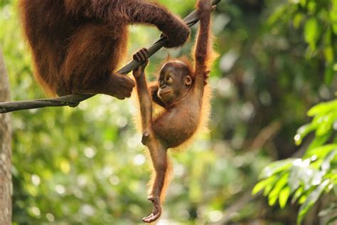animals that swing from trees facts about orangutans