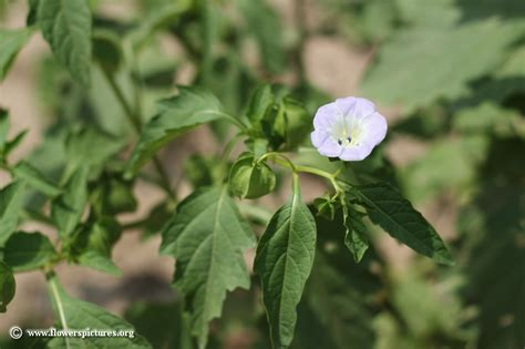 flowers photos 28 images photos of flowers photos of apple of peru flower picture 28