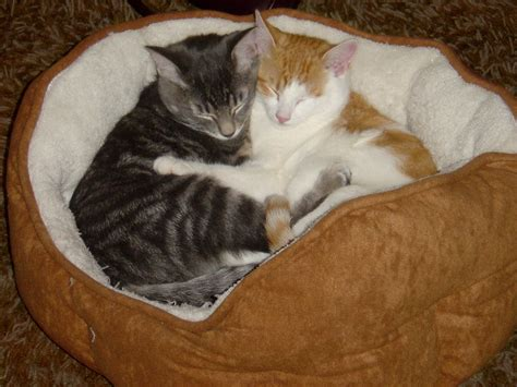 cute cat beds hugging kittens picture free photograph photos public domain